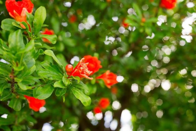Granaatappelbloemen en groene bladeren op aardachtergrond