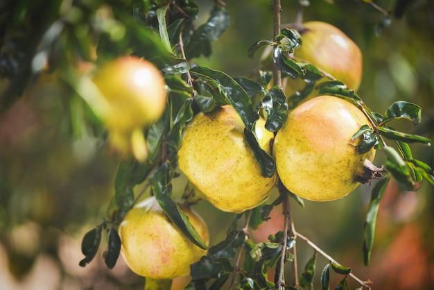 Granaatappelfruit op de achtergrond van de de zomertuin van de boomzomer de granaatappel van azië