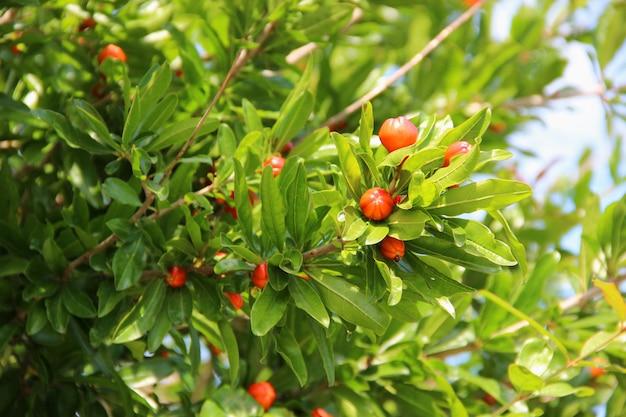 Granaatappeltakken en vruchten, boomkroon.