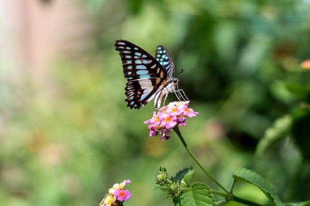 Graphium doson of gewone vlaamse gaai blauwe vlinder zittend op een bloem