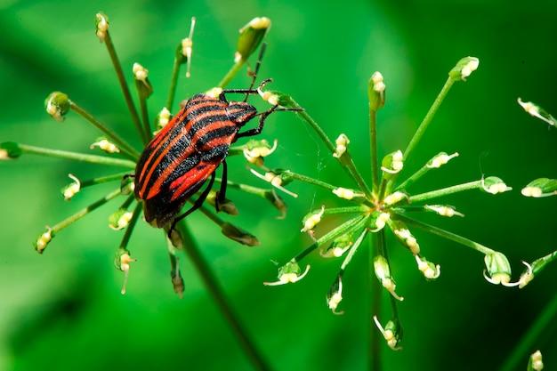 Graphosoma lineatum shield-bug