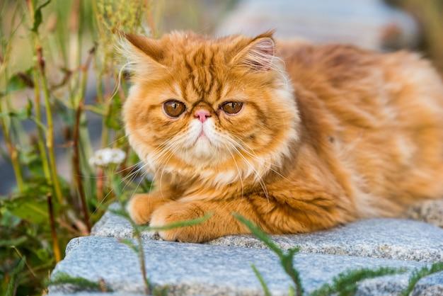 Grappig jong schattig rood perzisch kattenportret dat in het park loopt