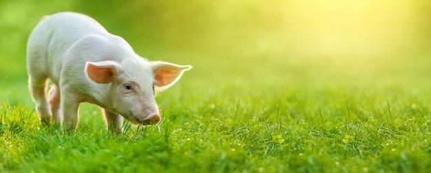Grappig jong varken staat op het groene gras. gelukkig biggetje op de weide. brede banner
