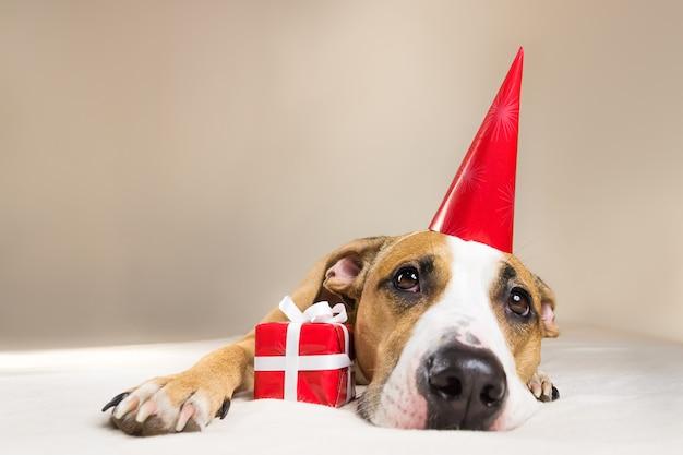 Grappig pitbullpuppy in verjaardagshoed die bij laag met weinig verrassing bij haar poten liggen
