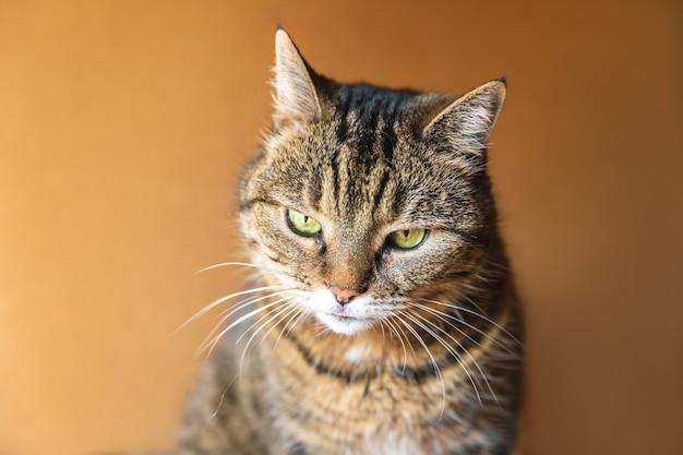 Grappig portret arrogante kortharige binnenlandse cyperse kat die zich voordeed op donkere bruine achtergrond. kleine kitten spelen thuis binnen rusten. dierenverzorging en dierenleven concept.