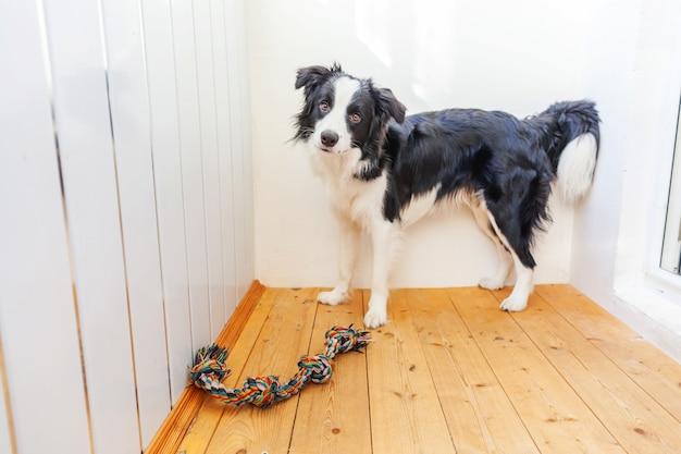 Grappig portret die van leuke het glimlachen puppyhond border collie kleurrijk kabelstuk speelgoed in mond houden. nieuw mooi lid van familie hondje thuis spelen met eigenaar. dierenverzorging en dieren concept.