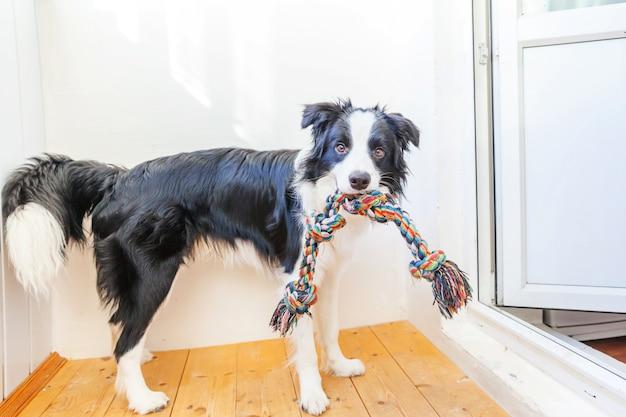 Grappig portret die van leuke smilling puppyhond border collie kleurrijk kabelstuk speelgoed in mond houden. nieuw mooi lid van familie hondje thuis spelen met eigenaar. dierenverzorging en dieren concept