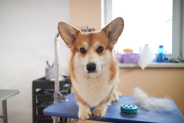 Grappig portret van een pembroke welsh corgi-hond na het in orde maken.
