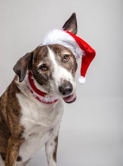 Grappig portret van podencohond met een pet en een kerstkraag op wit