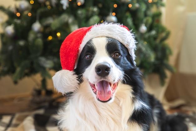 Grappig portret van schattige puppy hond border collie dragen kerst kostuum rode kerstman hoed in de buurt van kerstboom thuis binnenshuis achtergrond. voorbereiding voor vakantie. gelukkig vrolijk kerstconcept.