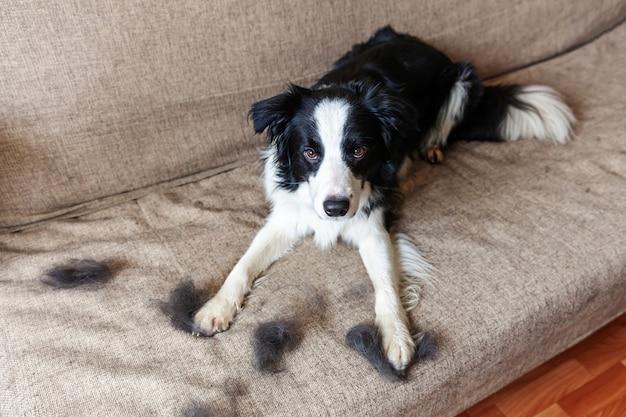 Grappig portret van schattige puppy hond border collie met bont in de rui liggend op de bank. harige kleine hond en wol in de jaarlijkse lente of herfst rui thuis binnenshuis. huisdierhygiëne allergie verzorgingsconcept.