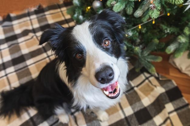 Grappig portret van schattige puppy hondje border collie in de buurt van kerstboom thuis binnenshuis. voorbereiding voor vakantie. gelukkig vrolijk kerstconcept.