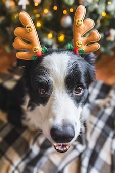Grappig portret van schattige puppy hondje border collie met kerst kostuum herten hoorns hoed in de buurt van kerstboom thuis binnenshuis achtergrond. voorbereiding voor vakantie. gelukkig vrolijk kerstconcept.