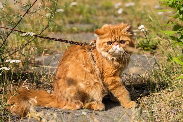 Grappig rood perzisch kattenportret met een riem die in de tuin loopt