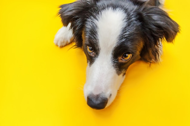 Grappig studioportret van leuke glimlachende die puppyhond border collie op gele achtergrond wordt geïsoleerd. nieuw lief familielid kleine hond staren en wachten op beloning. dierenverzorging en dieren concept