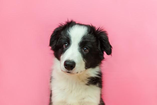Grappig studioportret van leuke glimlachende puppyhond border collie op roze pastelkleurachtergrond