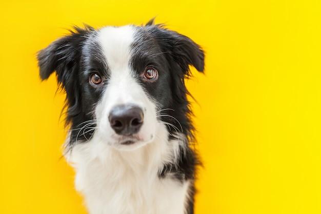 Grappig studioportret van leuke smilling die border collie van de puppyhond op geel wordt geïsoleerd