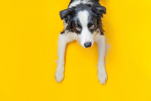 Grappig studioportret van leuke smilling puppyhond border collie die op gele achtergrond wordt geïsoleerd. nieuw lief familielid kleine hond staren en wachten op beloning. dierenverzorging en dieren concept