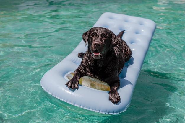 Grappig zwart labrador dat op een opblaasbaar stootkussen ligt en bij het zwembad ontspant. vakantie, ontspannen en vakantie met honden concept