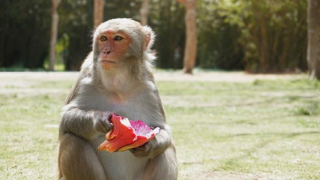 Grappige aap met drakenfruit leeft in een natuurlijk bos van china, hainan