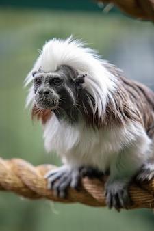 Grappige aap met witte en zwarte jas zit op dik touw