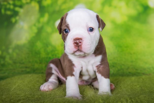 Grappige amerikaanse pestkop puppy op groene achtergrond