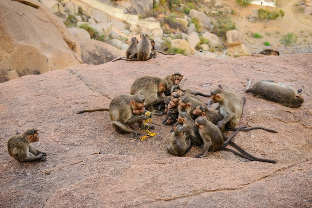 Grappige apenfamilie in oude hampi-ruïnes