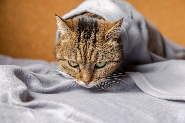Grappige arrogante binnenlandse cyperse kat liggend op de bank onder plaid binnenshuis. kitten rust thuis en houdt zich warm onder de deken bij koud herfst herfst winterweer. huisdier dierenleven hygge stemming concept.