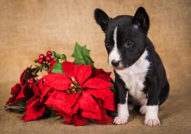 Grappige basenji puppy hondje met rode poinsettia bloemen. winter kerstmis of nieuwjaar kaart achtergrond