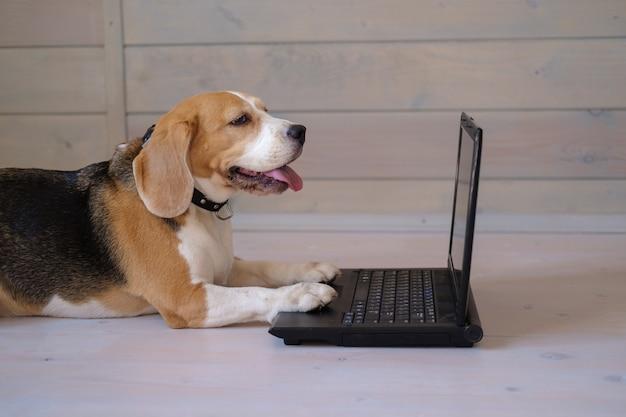 Grappige beagle hond kijkt naar het laptopscherm en houdt zijn poten op het toetsenbord liggend op de houten vloer
