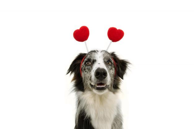 Grappige border collie-hondliefde die een diadeem van de hartvorm dragen die op wit wordt geïsoleerd