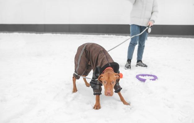 Grappige bruine hond staat in de winter aangelijnd en kijkt naar de camera