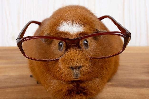 Grappige cavia draagt een bril
