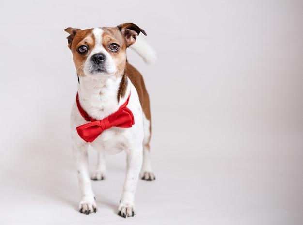 Grappige chihuahua hond in vlinderdas met rood hart geschenkdoos wit lint op grijs
