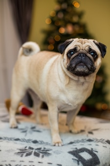 Grappige dromerige pug met droevige gelaatsuitdrukking liggend op de grijze textiellaag met deken en kussen. binnenlands huisdier thuis. rashond met gerimpeld gezicht. sluit omhoog, kopieer ruimte.