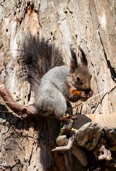 Grappige eekhoorn close-up eekhoorn close-up, luffy eekhoorn op een boom eet noten op een zomerdag