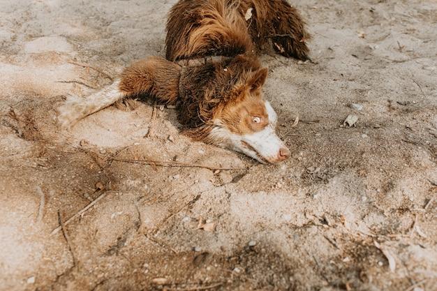 Grappige en vuile puppyhond die zich wentelt op zand in de zomer of lente met een onschuldig gezichtsuitdrukking