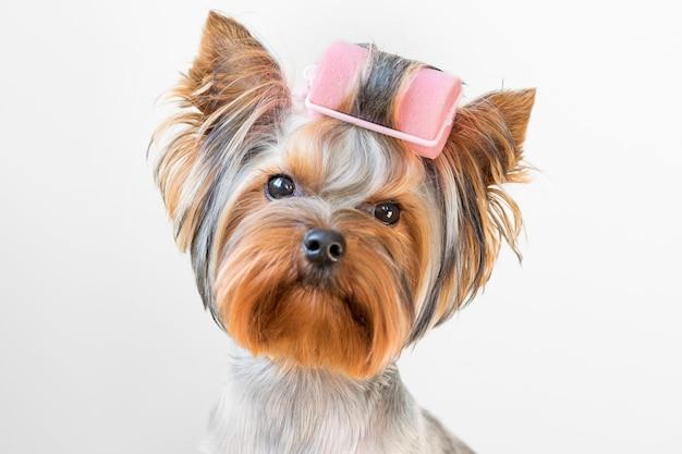 Grappige foto van een yorkshire terrier-hond met krulspelden op zijn vacht.