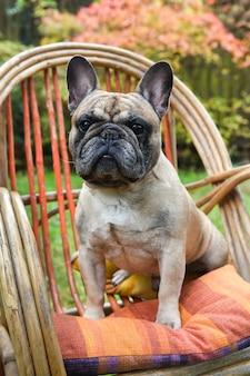 Grappige franse bulldog puppy hondje close-up op stoel op herfst achtergrond