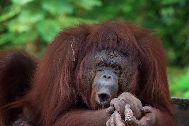 Grappige gezichten van slaperige orang-oetan Premium Foto