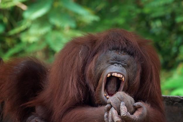 Grappige gezichten van slaperige orang-oetan
