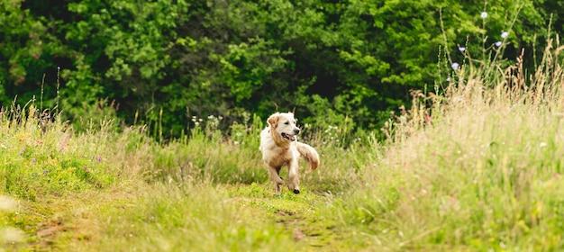 Grappige golden retriever op bloeiende veld