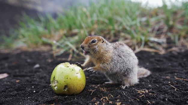 Grappige gopher die een appel-kamchatka eet in het verre oosten van rusland of