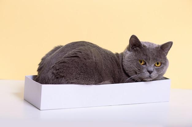 Grappige, grijze britse kat ligt in een witte doos op een lichte achtergrond