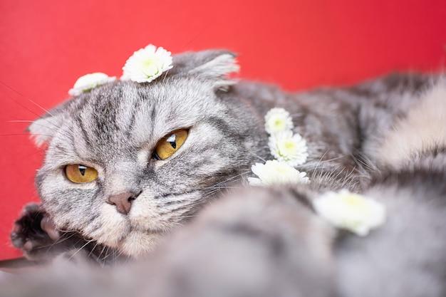 Grappige grijze schotse vouwenkat met gele ogen op een rode achtergrond. op de kat zijn kleine witte bloemen. het concept van de lente, vakantie, evenals populaire allergenen. leuke foto met een huisdier.