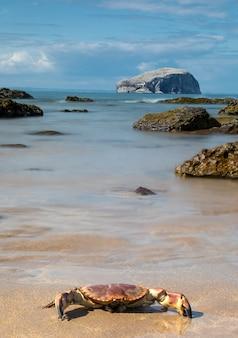 Grappige grote krab en uitzicht op bass rock island op de noordzeekustlijn in schotland