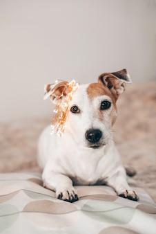 Grappige hond jack russell met een sprankelende kerstslinger op zijn hoofd, klaar voor de maskerade. voorbereiding op kerstmis en nieuwjaar. thuis vieren. levensstijl.