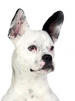 Grappige hond zwart en wit met geïsoleerdee grote oren