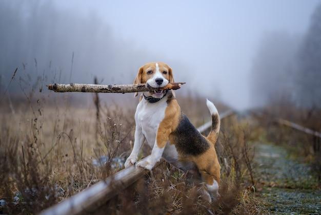 Grappige hondenras beagle met een stok in zijn tanden tijdens een wandeling in de herfst park in dikke mist