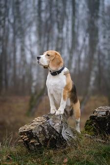 Grappige hondenras beagle voor een wandeling in de herfst park in een dikke mist. portret van een beagle op een landschapsachtergrond